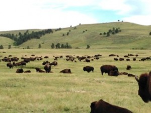 Bison on the prairie in Custer State Park