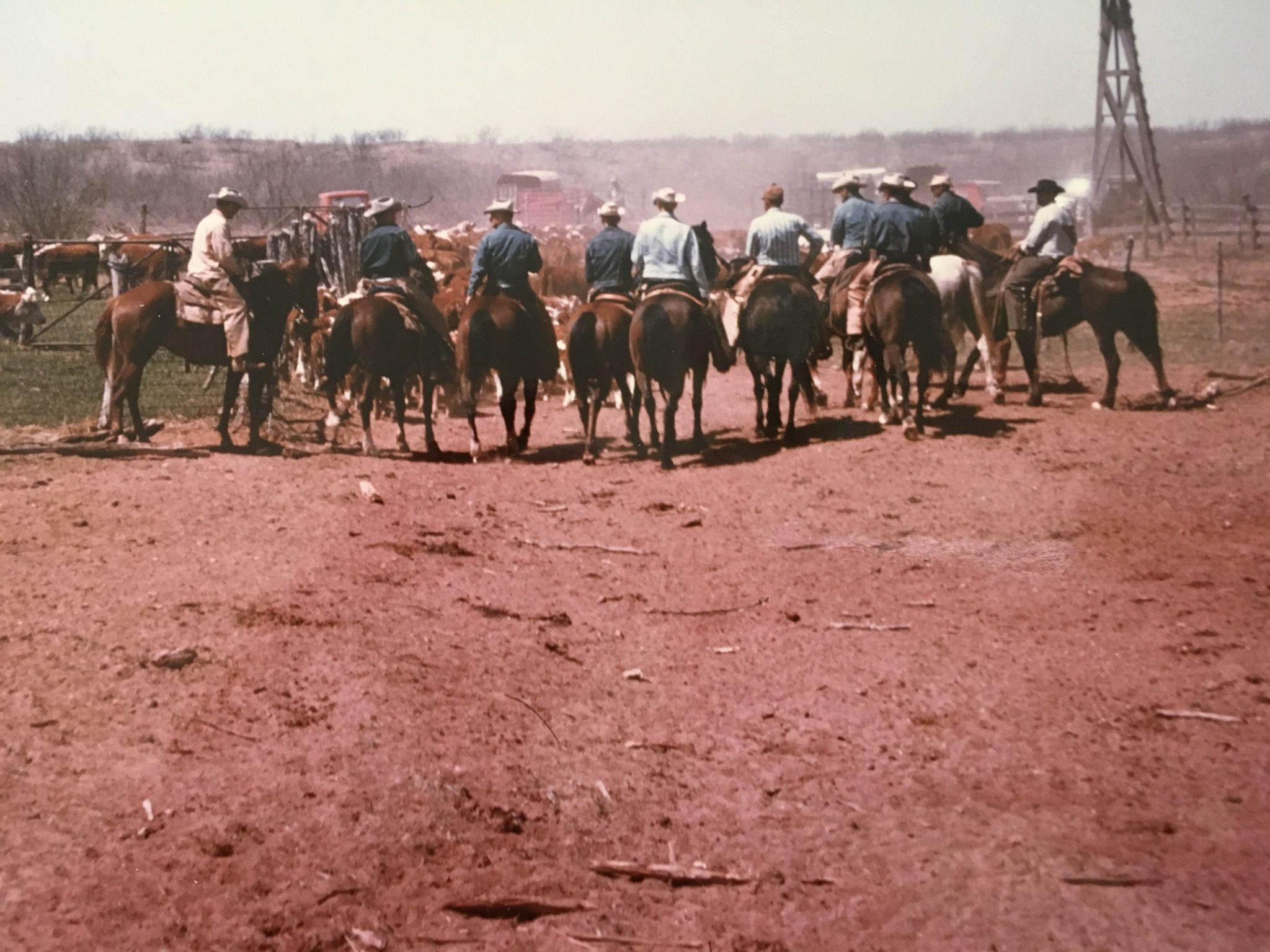 Texas cowboys herding cattle into pens. About 1964.